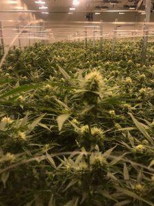Green Leaf Medical Flower Room